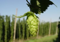 First Draughts: An Introduction To Hops