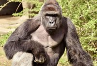 Clemson University Bans Harambe Memes, Says They Promote 'Rape Culture'