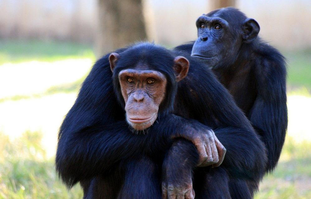 Bill Cassidy Wants To Devote Precious Senate Floor Time To Chimpanzees