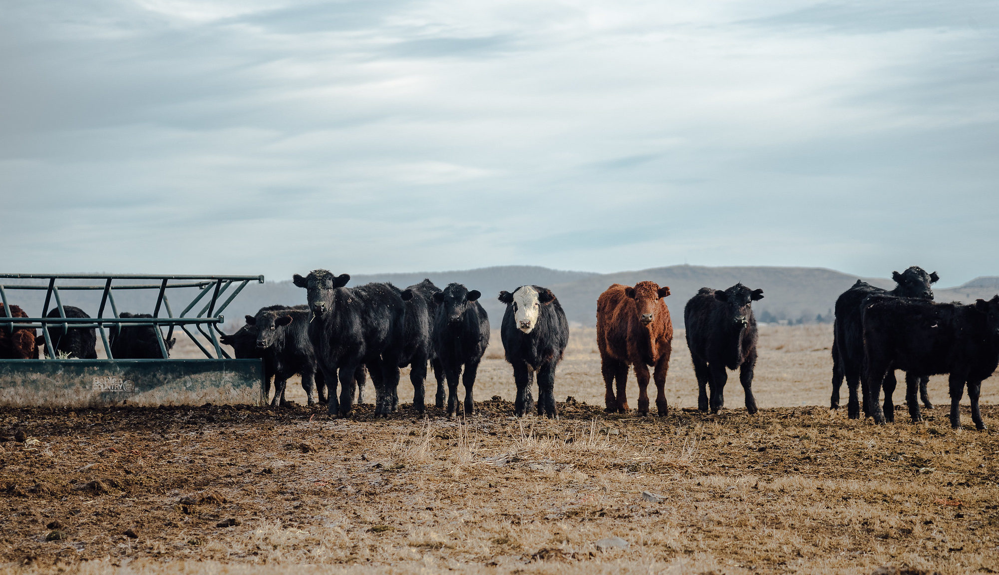 Cattle. Photo by Loren Kerns/Flickr.